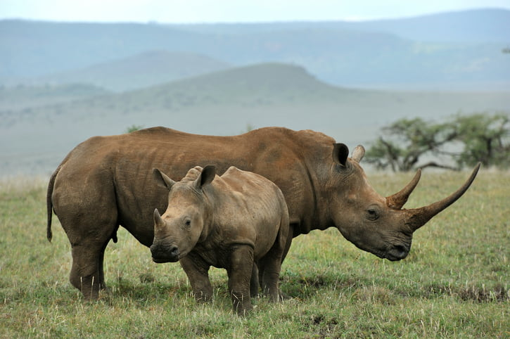 A black rhinoceros and baby in Lewa, Kenya